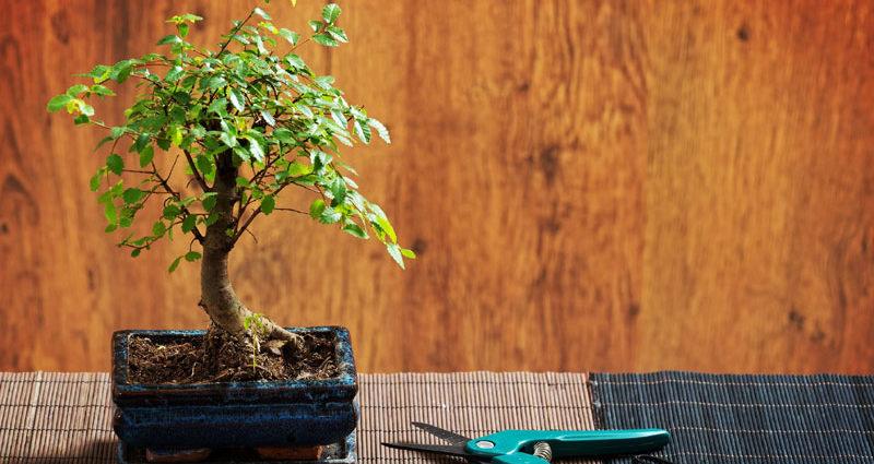 La taille du bonsaï