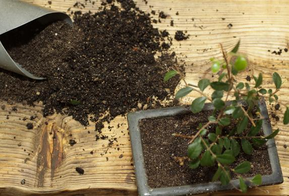 Quand et comment rempoter un bonsaï ?
