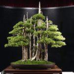 Les bonsaïs à troncs multiples