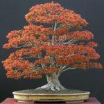 Les différents types et la classification des bonsaïs
