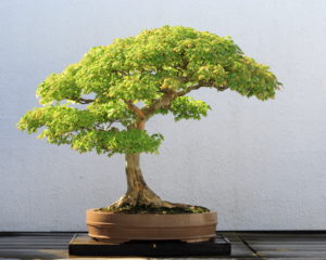 Les différents types d'arbres bonsaï