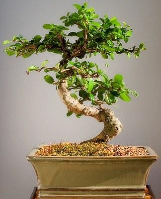 Démarrage de votre premier bonsaï