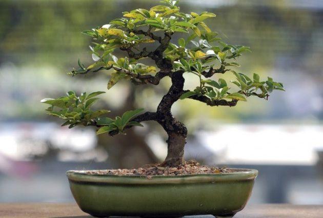 Mémo d'entretien du bonsaï selon les saisons