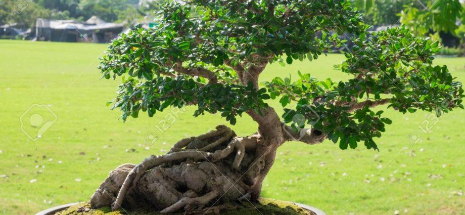 L'art japonais du bonsaï