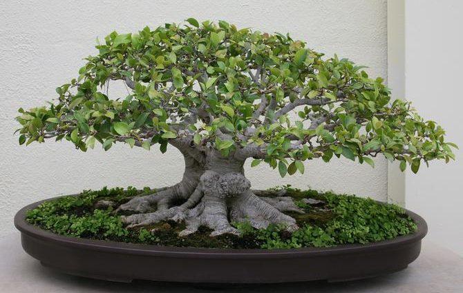 Le Bonsaï Ficus