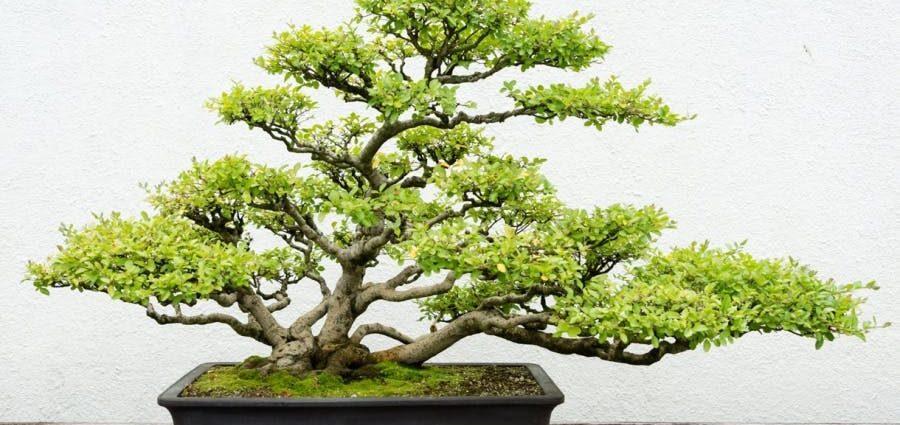 Entretien et arrosage du bonsaï