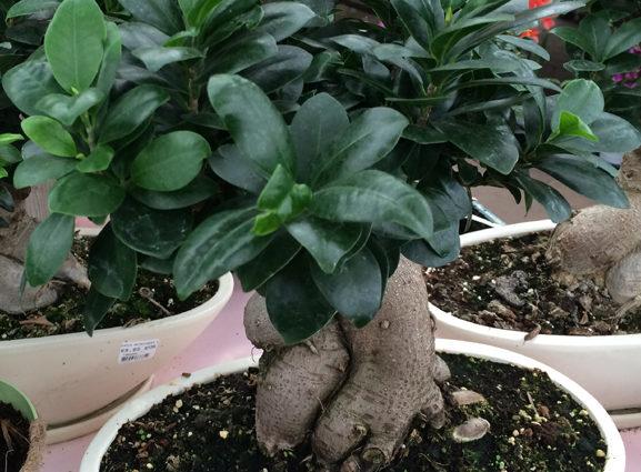 Le Ficus ginseng (Ficus microcarpa), idéal pour débuter