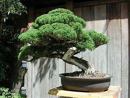 Les arbres de bonsaï d'intérieur