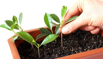 Comment faire pousser votre propre bonsaï