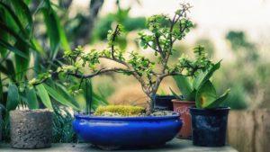 Comment choisir le pot de votre bonsaï ?
