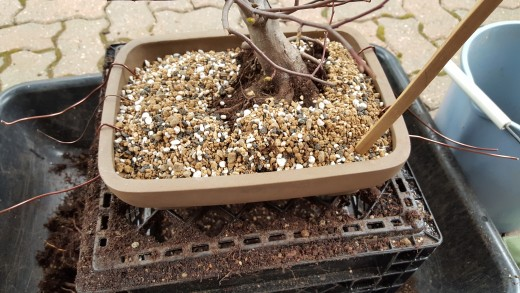 Comment rempoter un bonsaï (et les raisons de le faire)