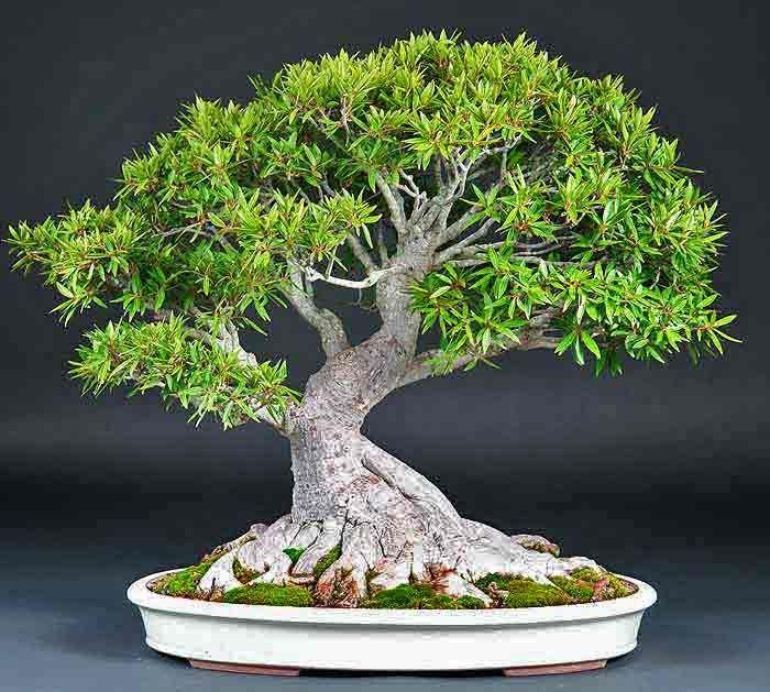 Cinq espèces qui font un bon bonsaï d'intérieur