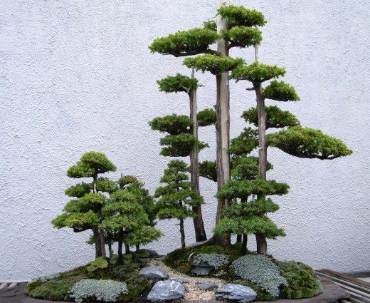 arbre bonsai Foemina Juniper