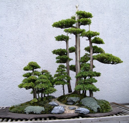 arbre bonsai Foemina Juniper