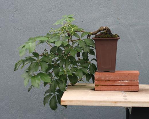 Guide du débutant sur le bonsaï