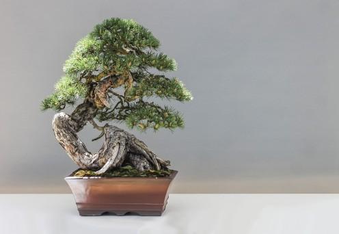 Comment faire pousser et coiffer un bonsaï
