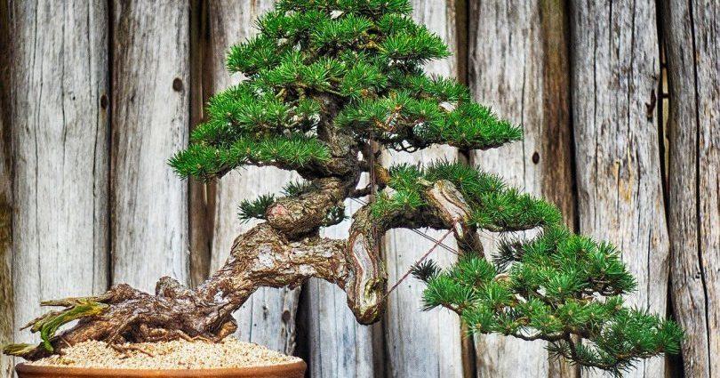 Guide d'entretien des arbres en bonsaï d'intérieur