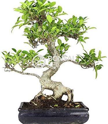 Bonsai - Ficus, 10 ans (Bonsai Sei - Ficus Retusa)