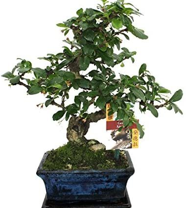Bonsai Fukientee - Carmona microphylla - 6ans
