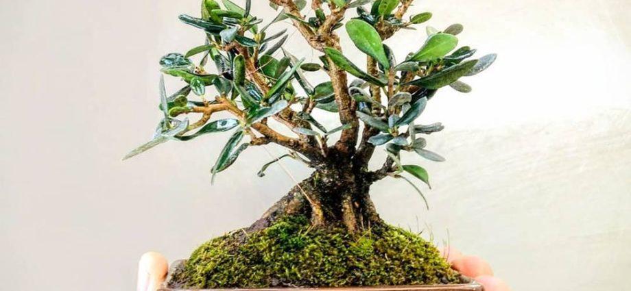Ce que vous devez savoir avant d'acheter des bonsaïs