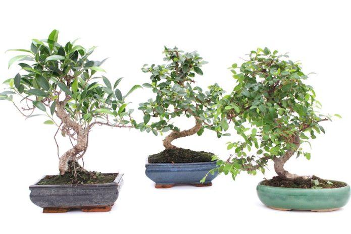 Quelle est la meilleure sélection de bonsaïs ?