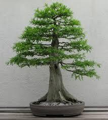 5 styles d'arbres Bonsaï
