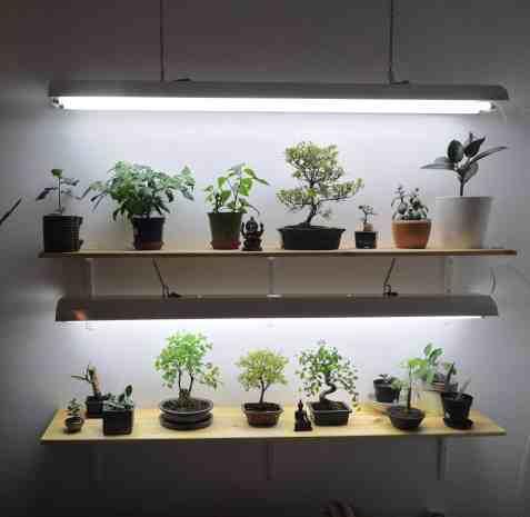 Bonsaïs d'intérieur sur étagère avec éclairage artificiel