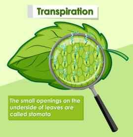Transpiration - Les petites ouvertures sur la face inférieure des feuilles sont appelées stomates