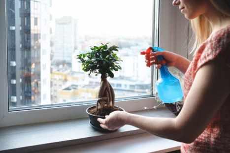 Nettoyage d'un bonsaï d'intérieur