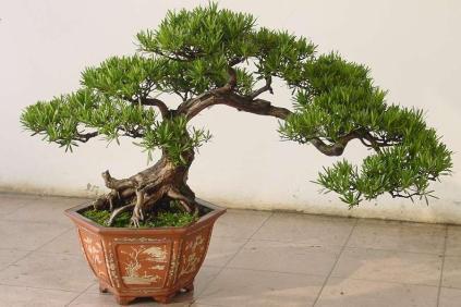Bonsaï bouddhiste d'intérieur en pin