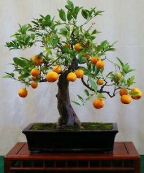 Bonsaï Kumquat pour l'intérieur