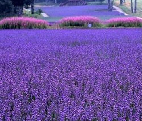200 PCS / sac français graines provence lavande très parfumées graines de lavande bio fleurs des plantes à fleurs graines jardin Bonsai