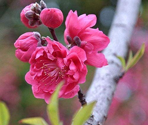 Abricot japonais graines de prune chinois 5+, Prunus Mume, graines d'arbre Mume hiver doux fleur arbre bonsaï pour la plantation de jardin