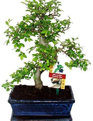 Bonsai orme de Chine - Ulmus parviflora - 8 ans