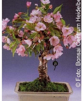 TROPICA - Cerisier du Japon (Prunus serrulata) - 30 graines- Bonsai