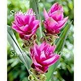 50 pièces rares Rhizoma Curcuma Graines de fleurs Curcuma graines alimentaires Assaisonnement Antibiose intérieur Plantes en pot Bonsai sain jardin 9