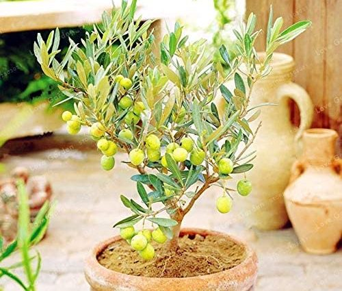 Bloom Green Co. 10PCS Rare Bonsaï olivier (Olea europaea) plante Bonsai frais plante arbre exotique Mini Olive Olive Tree Bonsai Jardin Fournitures