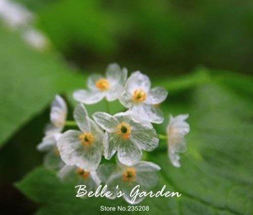 100pcs Plantes Exotiques rares Blooming Transparent Graines Fleurs diphylleia grayi Bonsai l'eau Devient Transparent Skeleton Fleur