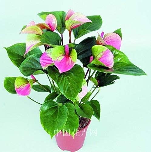Portal Cool 200pcs Rare Rose + Vert Anthurium, Graines andraeanum Grains, Graines Bonsai fleurs