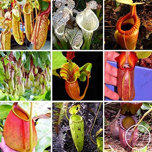 Time-Limit !! 11 Divers Nepenthes Graines Balcon pot Bonsai plantes Semences Bonsai Plantes carnivores Graines 50 Pcs/Lot, 615NRJ