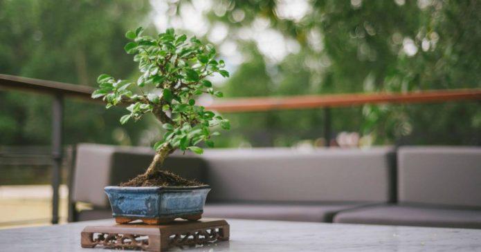 Cultiver un bonsaï d'intérieur
