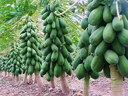 Portal Cool 100% de Papaye Graines Vrai. Nain bio Douce Graines de Papaye Bonsai 15 graines