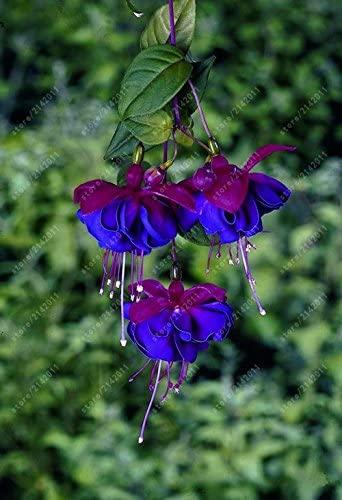 100 Pcs/Sac Graines, fleurs Fuchsia Fuchsia, Bonsai Hanging Graines de fleurs, Plante en pot Lanterne Begonia graines pour jardin 14