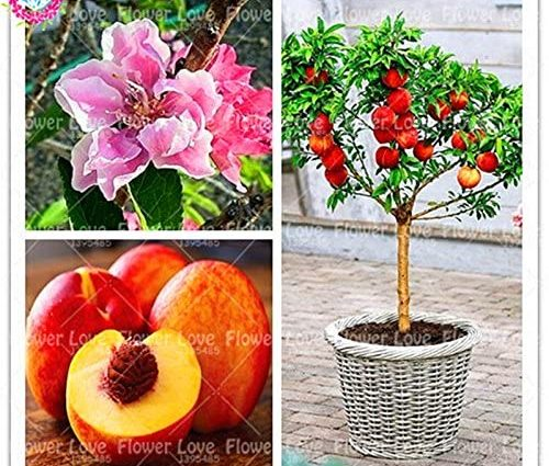2pcs Peach réel doux Graines Bonsai arbres fruitiers Graines nain Bonanza Pêches santé graines de fruits bio pour la maison Plantes de jardin