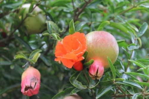 30 pcs délicieux non-OGM Bonsai grenade Graines vivaces fruits intérieur Graines Arbre Super Sweet Seeds Fruit Pour jardin