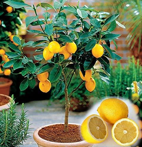 10PCS / SAC comestibles Fruit Citron Meyer, Graines Citrus Bonsai Citron exotiques Arbre des graines fraîches