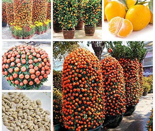 30 Pcs Citrus reticulata Graines nain orange Bonsai Mandarine graines comestibles Agrumes sucrés arbres fruitiers pour jardin