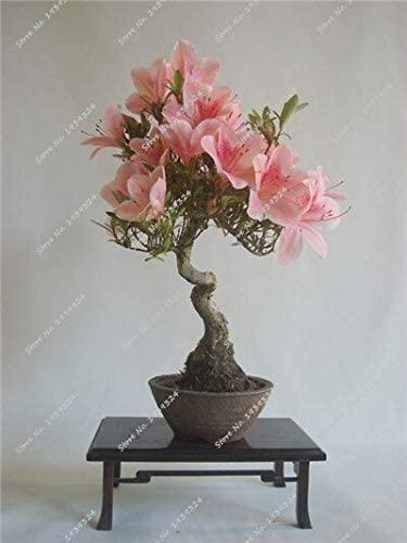 10 Pcs/Sac Rare Mini Sakura Graines Cerisier Japonais Bloom Bonsai Fleur Graines Sakura Arbre Diy Maison & Amp; Plante de jardin