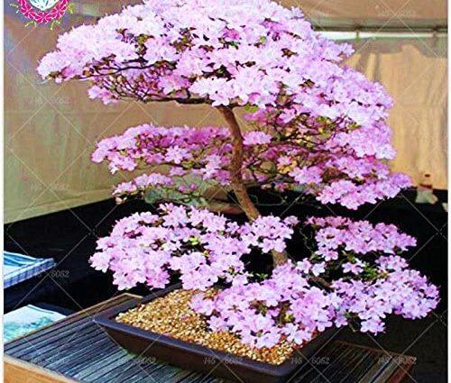 Bonsaï Graines Sakura rares japonais Fleurs de cerisier japonais Fleurs Graines Bonsai, Rose Serrulata 10 graines/paquet