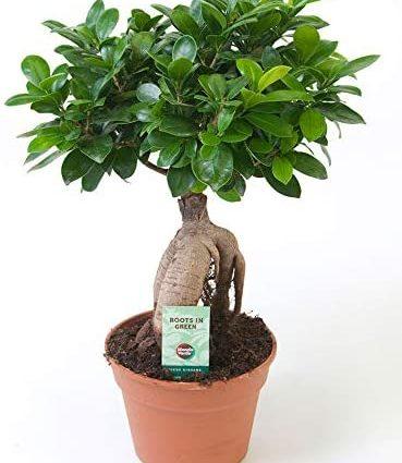 Ficus microcarpa Ginseng | Bonsaï | Plante verte d'intérieur | Hauteur 40-45cm | Pot Ø 17cm